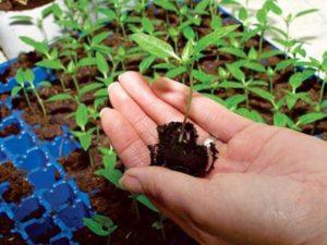 Рассада помидор в домашних условиях: как посеять и вырастить здоровую рассаду томатов