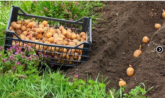 Посадка картофеля в 2018 г — по лунному календарю в открытый грунт
