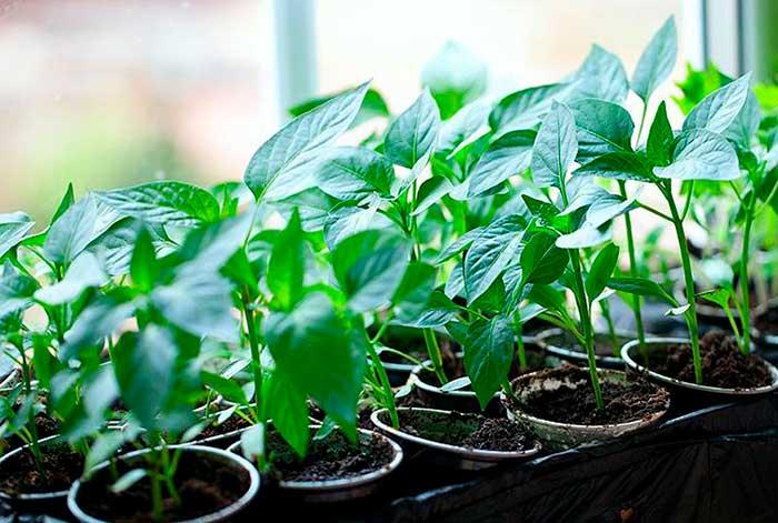 Подготовка грунта для посева рассады перца и баклажанов