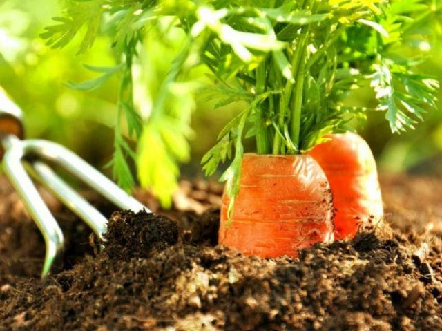 Когда сажать морковь весной в открытый грунт
