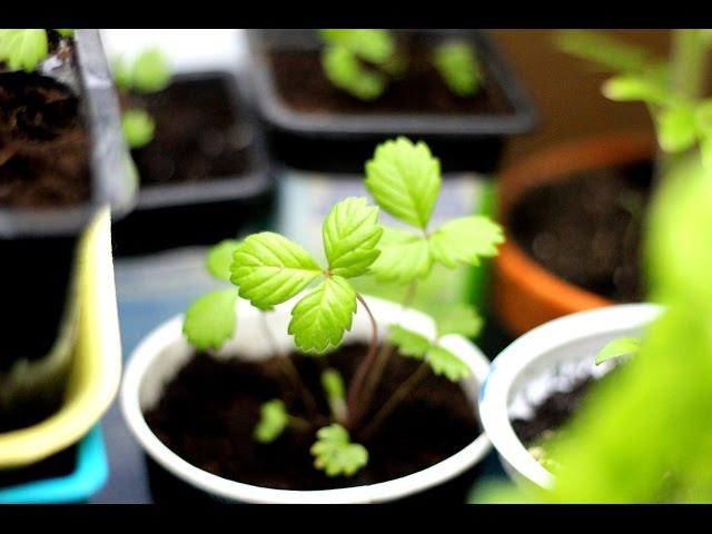 Рассада клубники – как вырастить клубнику из семян в домашних условиях