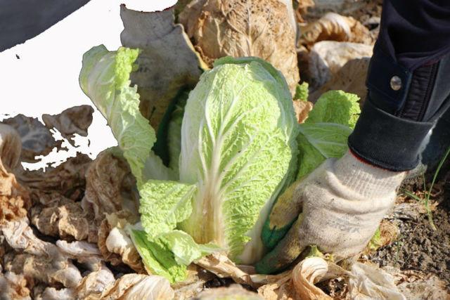 Как сажать пекинскую капусту в открытый грунт