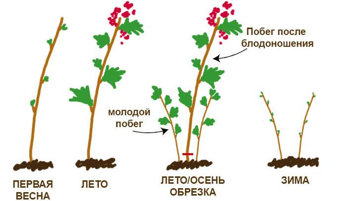 Как вырастить ремонтантную малину, уход за малиной