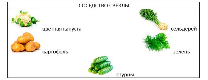 Свекла: выращивание и уход в открытом грунте
