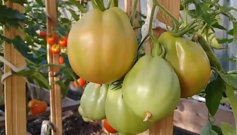 Когда и как сажать помидоры на рассаду в 2020 году по лунному календарю