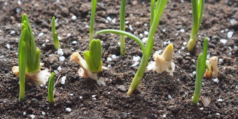 Сроки посадки чеснока в Сибири и на Урале