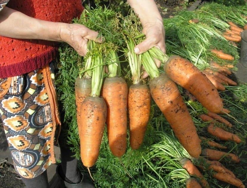 Необычные способы посадки моркови