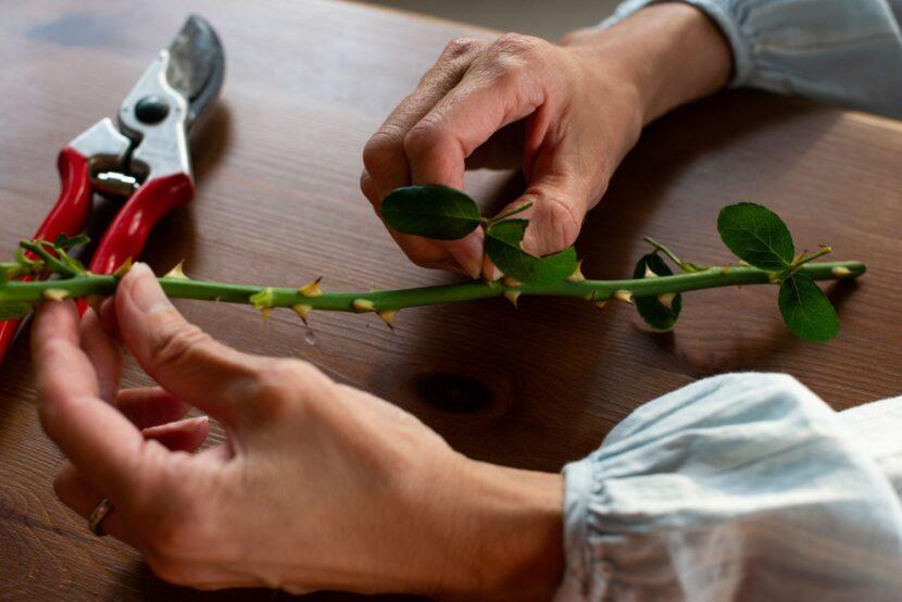 Пересадка черенков розы